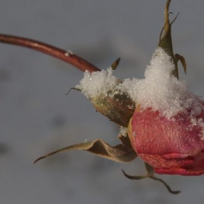 Замръзнала роза
